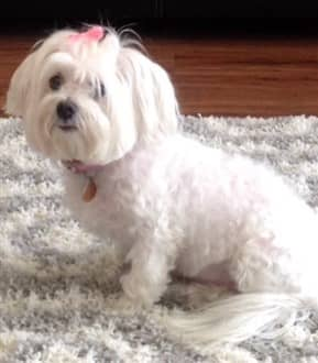 Older Maltese dog, 9 years, female