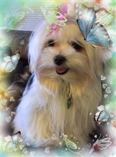 Pretty Maltese dog with butterflies