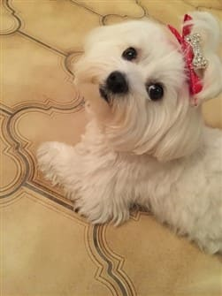pretty-maltese-female-dog
