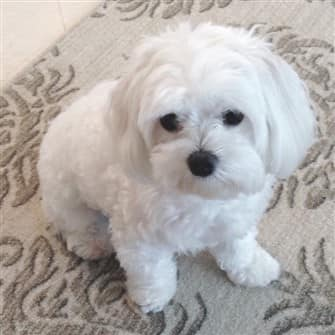 quiet-maltese-dog
