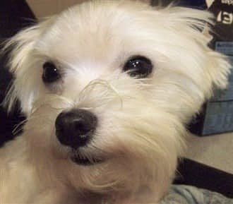 senior Maltese dog