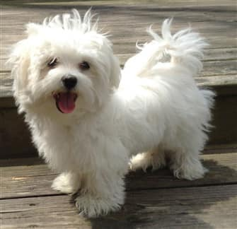 maltese dog. maltese colors dog