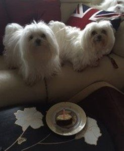 two-maltese-dogs