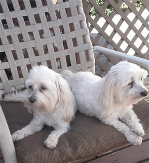Two older Maltese dogs