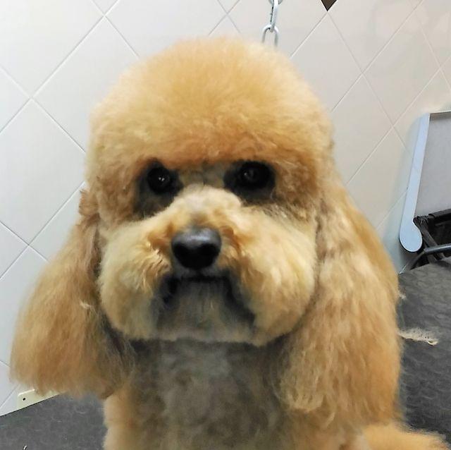 un cane Yorkshire appena tosato // Merc - Sono bello?