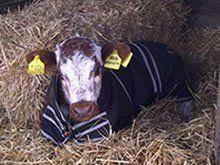 a calf wearing jacket