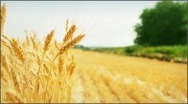 macinatura grano