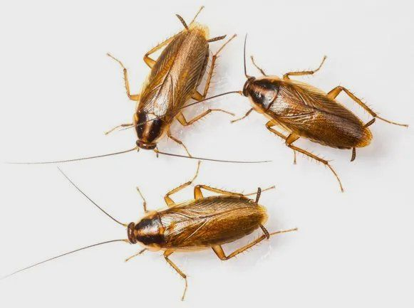 Cockroach Identification Prevention And Extermination