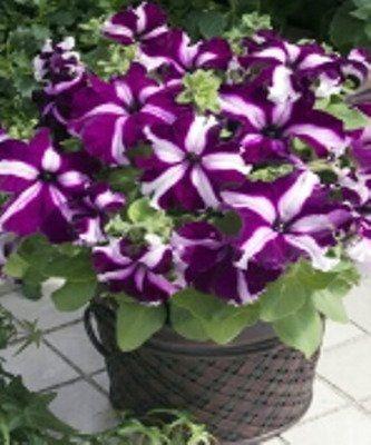 vaso di viole
