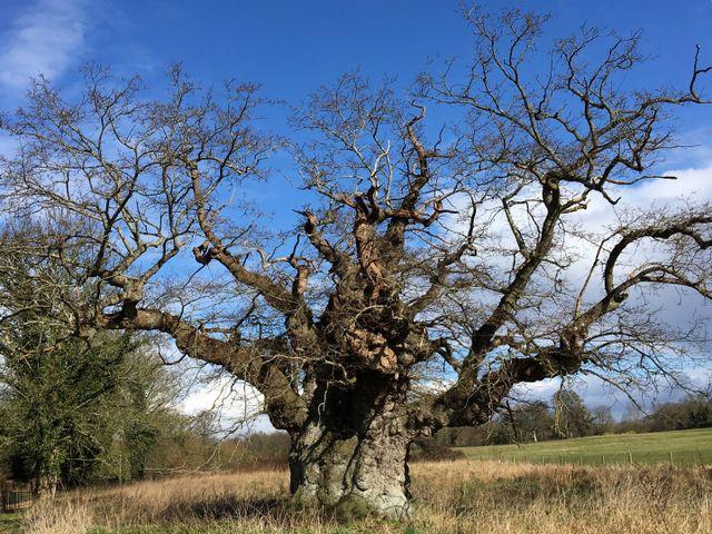 Veteran tree care