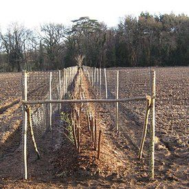Planting of semi-mature trees