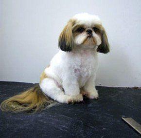 Grooming services - Paignton, Devon - Kistor Canine Beauticians - Shih Tzu