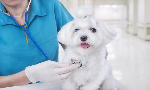 una veterinaria in camice blu che controlla battito di cuore ad un cane maltese