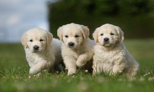 tre cuccioli di labrador nel prato