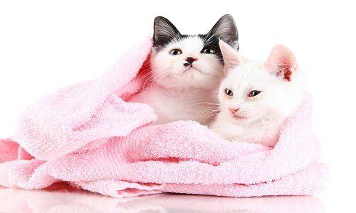 due gatti coperti in un asciugamano di color rosa