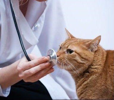 una veterinari con un stetoscopio davanti un gatto