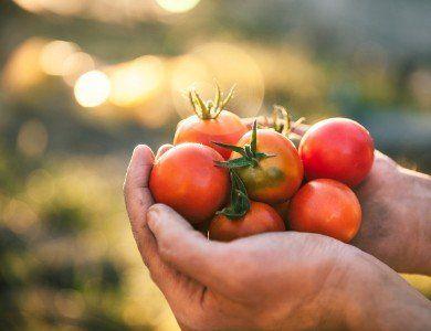 due mani con dei pomodori