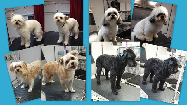 Before and after photos of dog grooming at Wags & Whiskers in La Crosse, WI