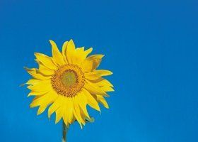 Hypnotherapy - Newport, South Wales - Alison Holloway - Sunflower