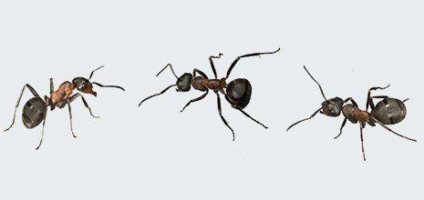 Three ants