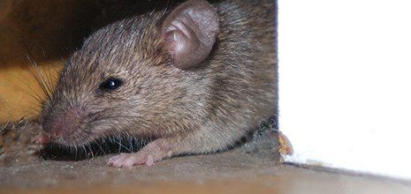 A grey rat