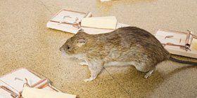 Pest management - Market Rasen, Lincolnshire - Action Pest Control - Rat and Traps