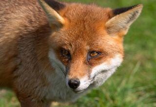 fox control