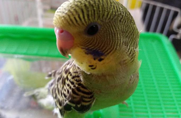 Un pappagallo cocorito a Floridia Siracusa