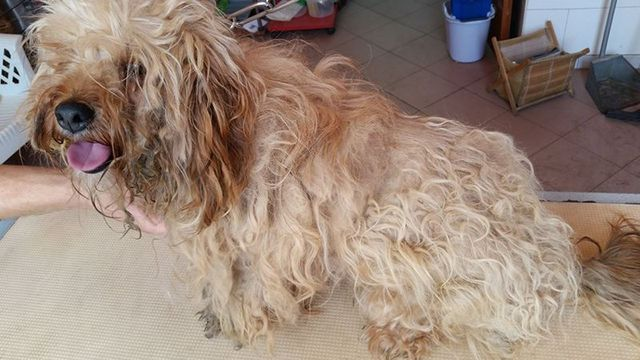 Lo yorkshire terrier a Floridia Siracusa