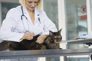 Vet inspecting a cat - the cat clinic of greensboro