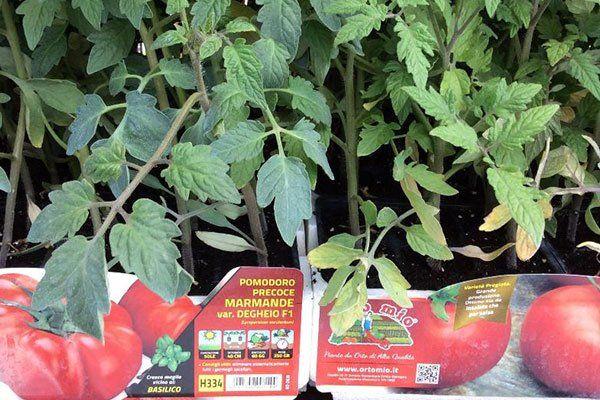 delle piantine di pomodoro con le targhette con scritto pomodoro precoce marmande