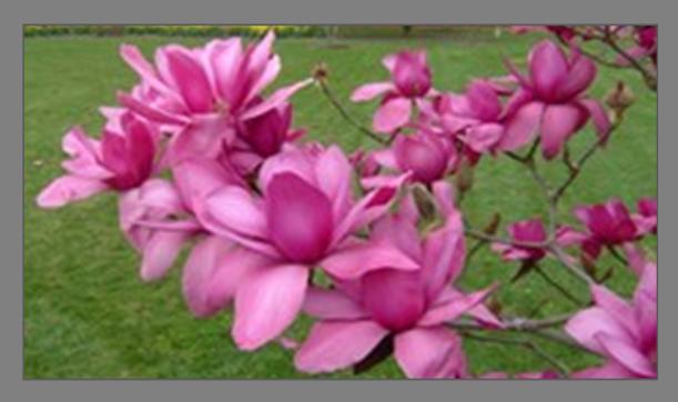 Deciduous Magnolias