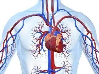 Immagine trasparente di un corpo con vista delle vene e del cuore