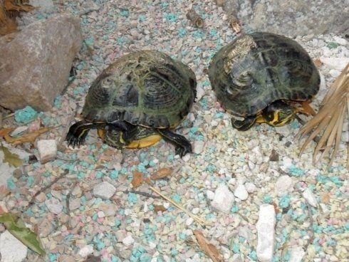 Due tartarughe
