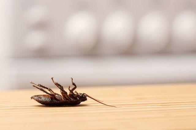 scarafaggio morto