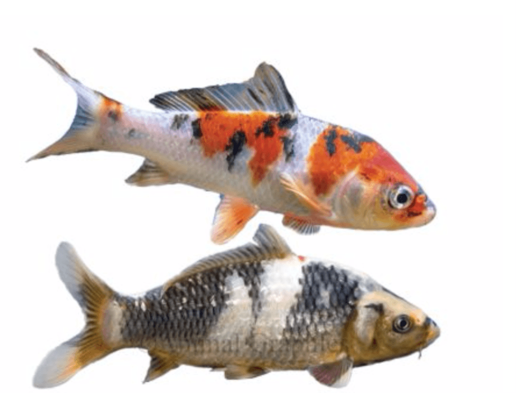 Koi pond fish for sale at the garden center southport nc for Pond fish for sale