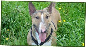 animal care - brixham - Animal Health Centre  - Bull terrier