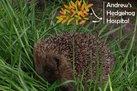 Hospital for hedgehogs