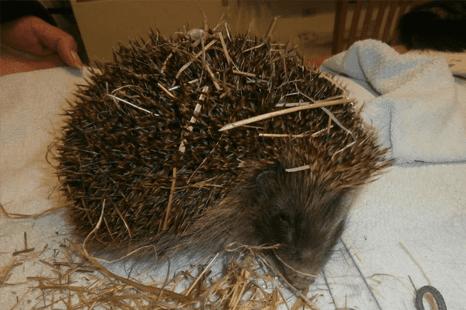 hedgehog care questions