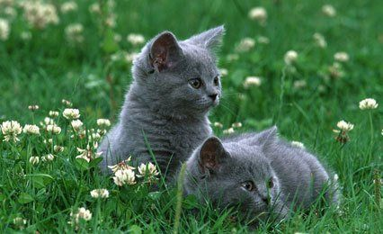 two british blue kittens