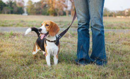 beagle on a lead