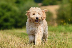 labradoodle puppy in field