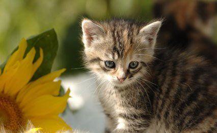 kitten next to sunflower