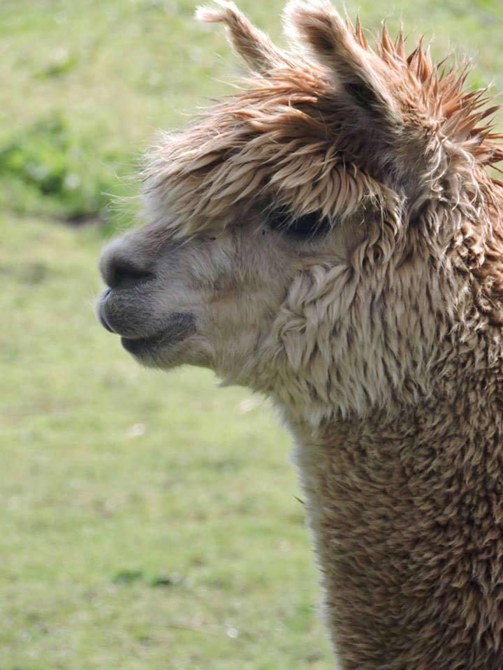alpaca farm in sheffield