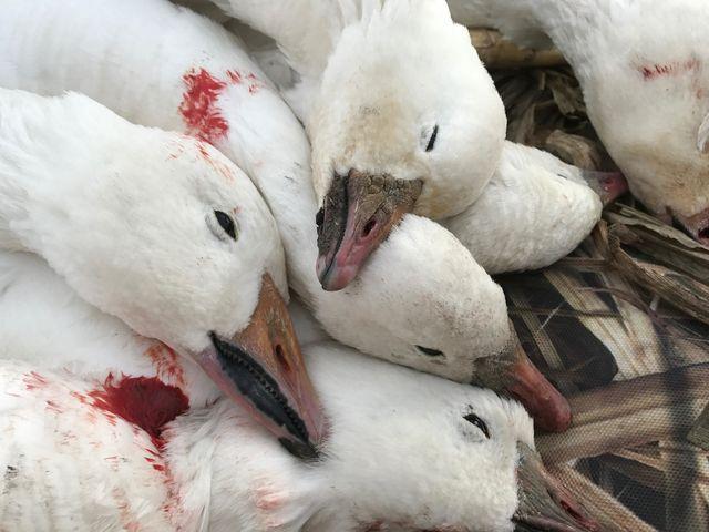 1bc3c1ecef165 South Dakota Spring Snow Goose Hunts | SD Hunting Guide