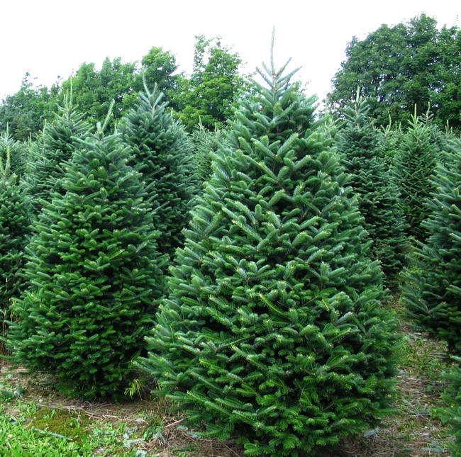 Frasier Fir Christmas Tree.Kroll S Fall Harvest Farm Waukegan Il