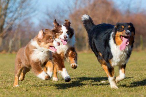 tre cani che corrono