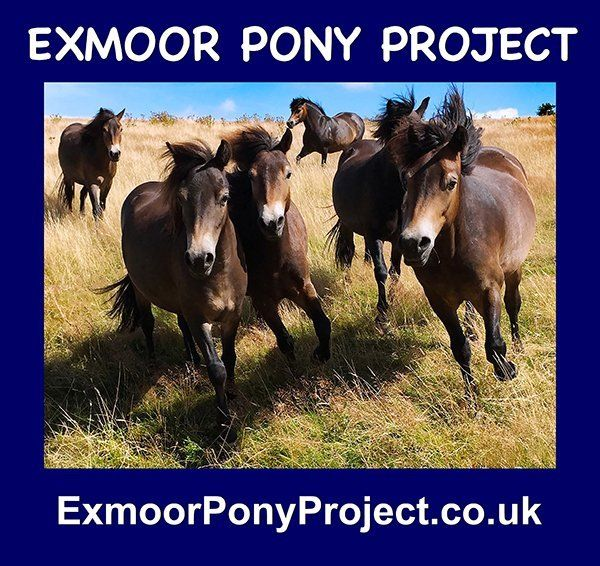 exmoor pony project
