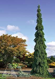 Marvelous Picea Glauca. U0027