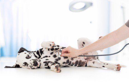 veterinario controlla cucciolo di dalmata